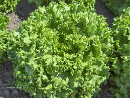 Image of Green Leaf Lettuce