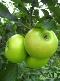 Image of Rambo Apples