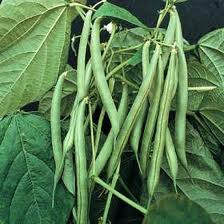 Image of Green Beans