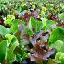 Image of Mixed Baby Salad Greens
